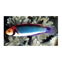 wrasse-clownfairy
